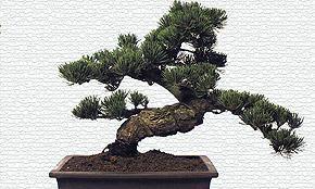 Cuidados del bonsai - Cuidado del bonsai ...